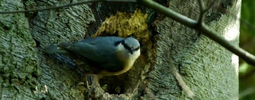 Nesting nuthatch in Easingwold, North Yorkshire at the end of May 2012, Chris Jones/Bow House Ltd