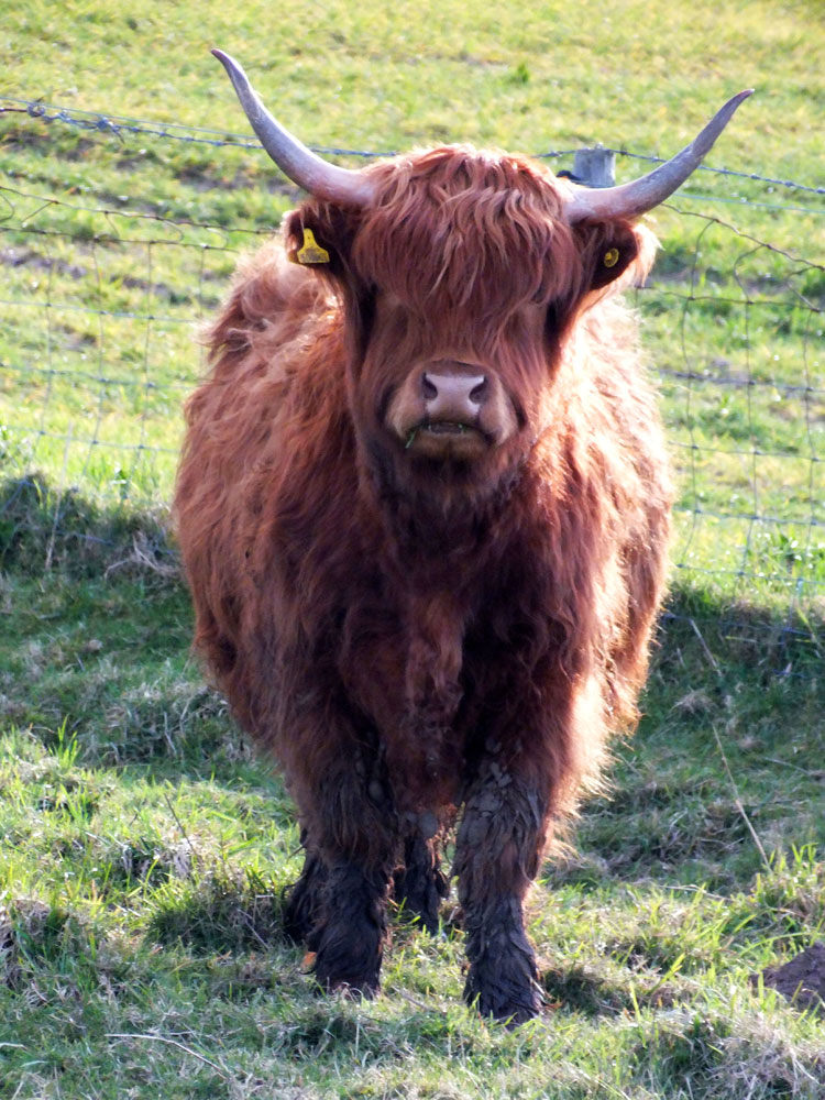 Highland Cattle in a field by the chapel