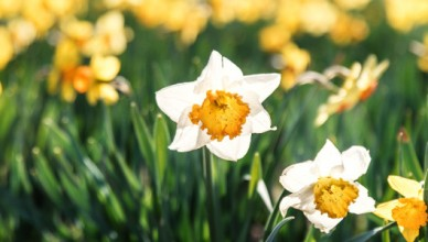 close up of daffoils on a walk featured as a on of the top things to do in Yorkshire