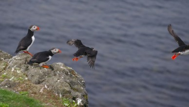 puffins heading into the sea away from the boat cruise as part of the stuff to do in Yorkshire in May