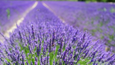 field full of Yorkshire lavender