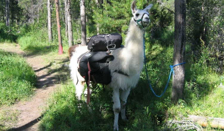 llama trek for half term fun