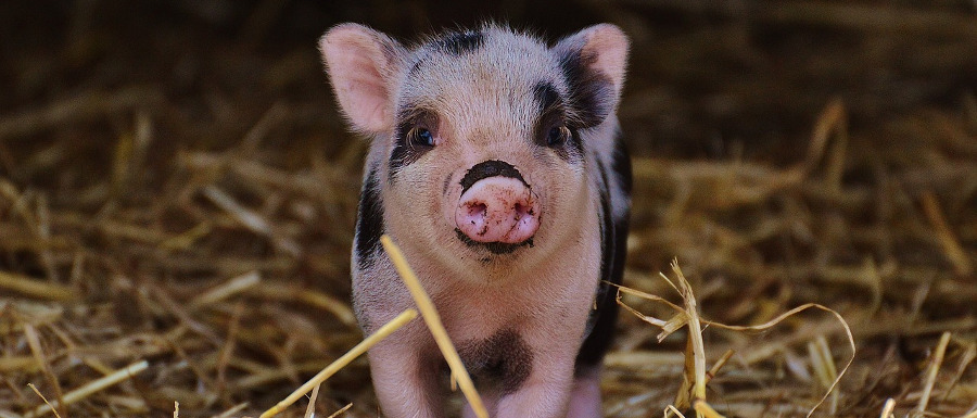 piglet at Piglets Adventure Farm for half term fun
