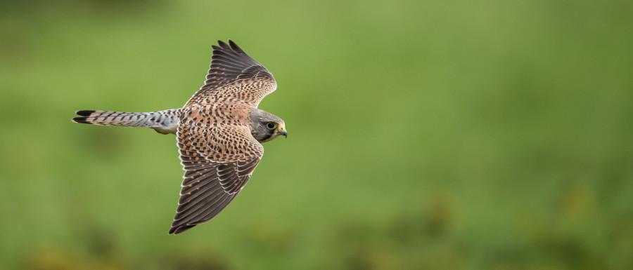hawk flying over green grass