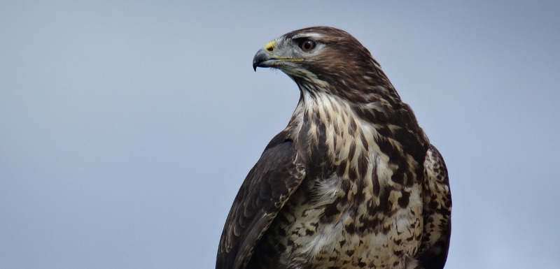 bird of prey at the Helmsley National Bird of Prey Centre