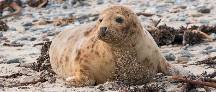 seal on Ravenscar beach
