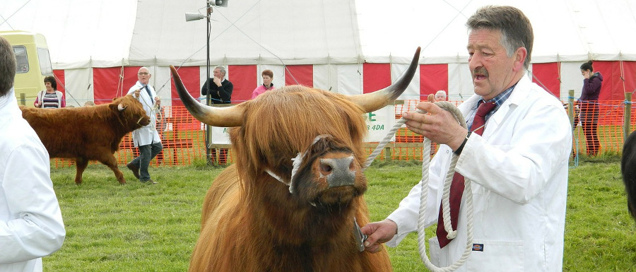 cow being judged at an agricultural show