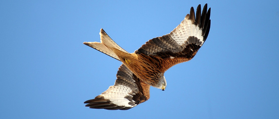 red kite in North Yorkshire