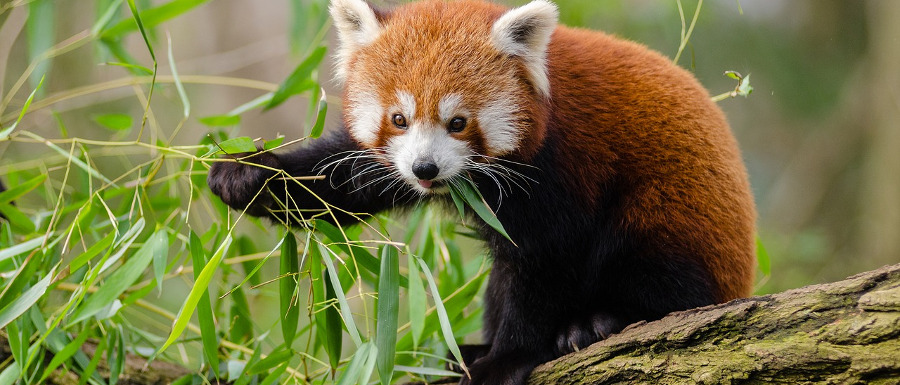 red panda at Flamingo Land