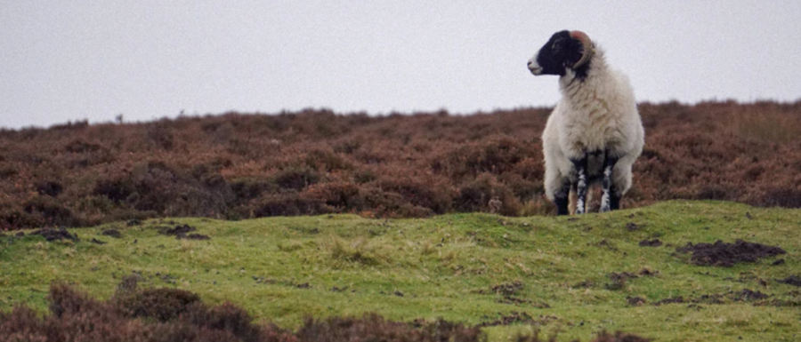 sheep on the Yorkshire Moors